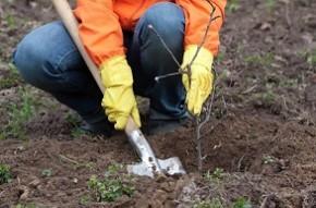 В Беларуси проходит месячник по осенней посадке деревьев и кустарников