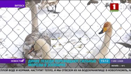 Дикие лебеди пережидают сильные морозы в зоопарке