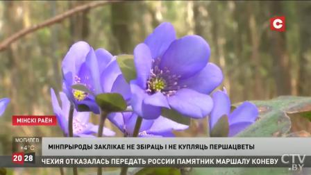 Специалисты призывают не срывать первоцветы. За что может грозить штраф?